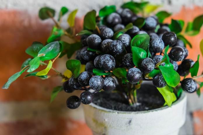 Buah-buahan Ini Bisa Tumbuh di Pot, Loh. Keren, Ya?